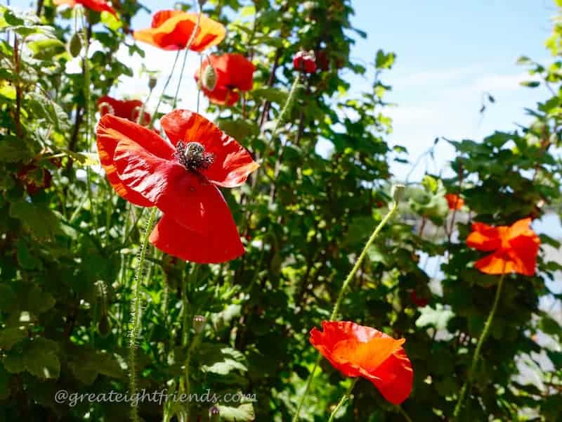 Edison Poppies