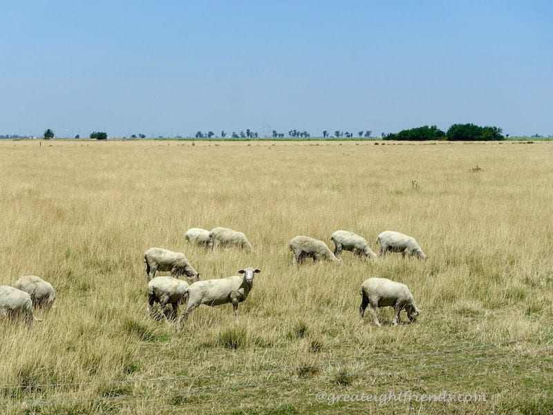 Lambs grazing in a field.
